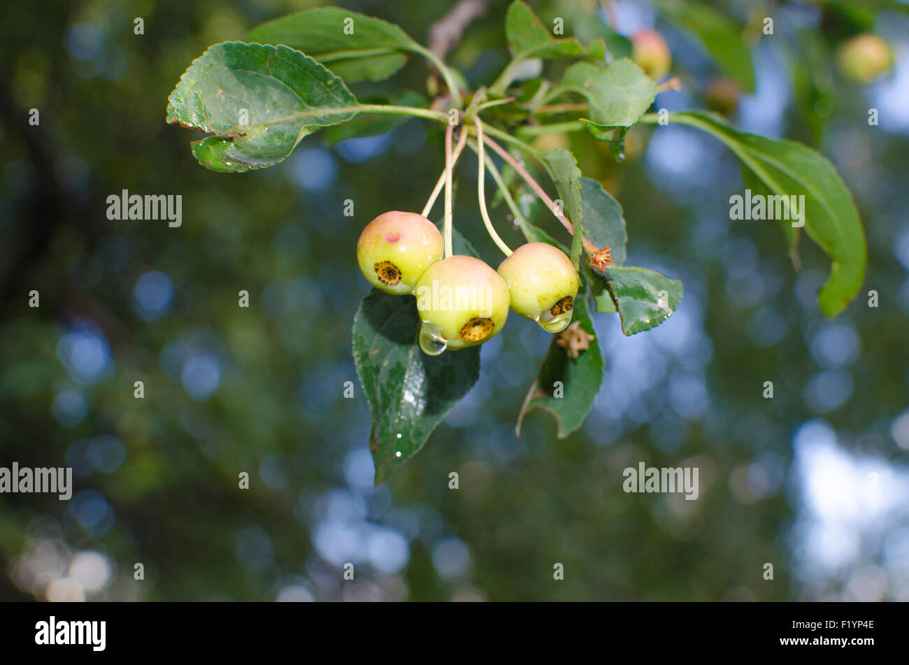 Ganz und zu Extrem Apfelbaum, Äpfel mit Regentropfen, ein kleiner Zweig, Apfelbaum #RR_58