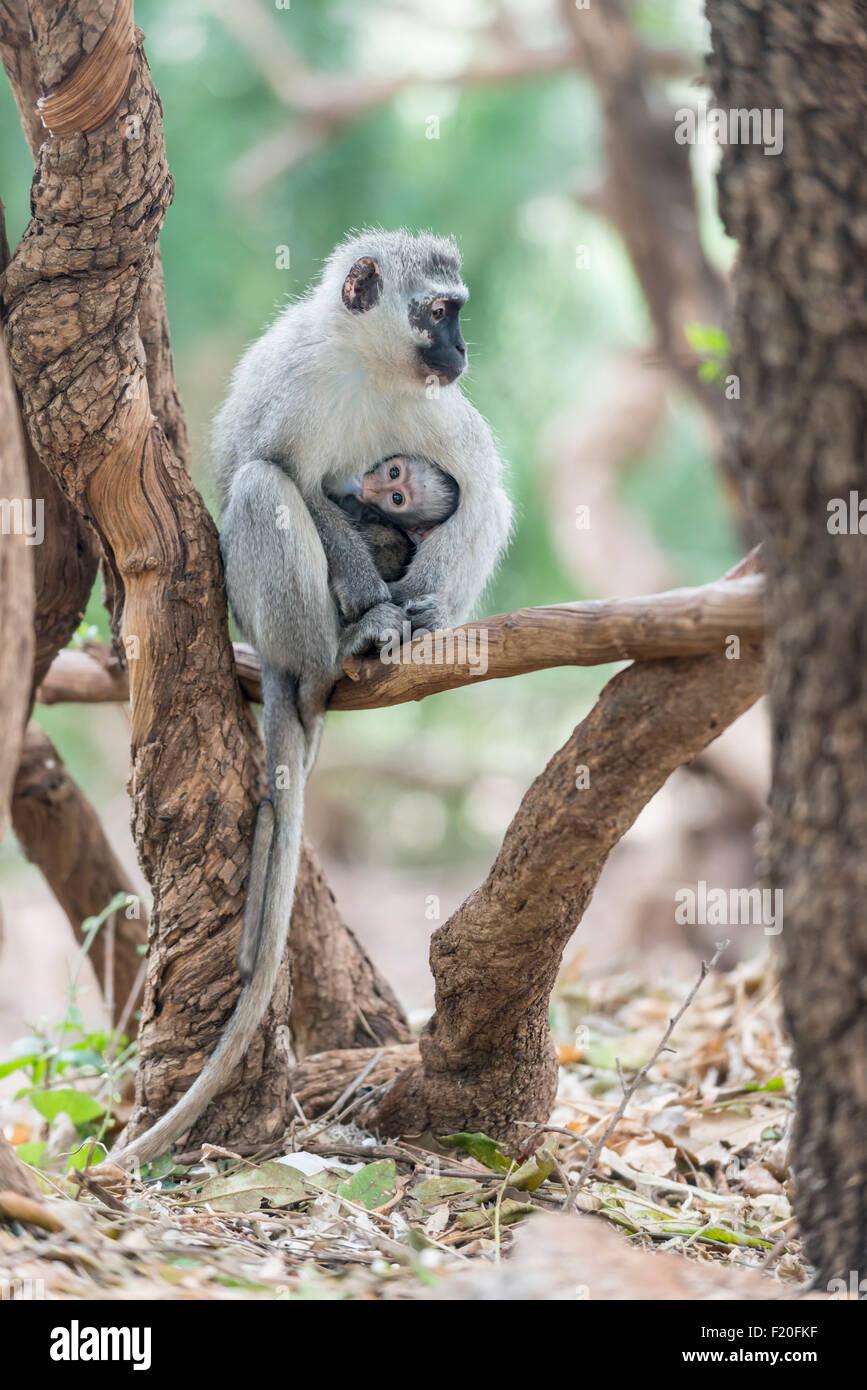 Vervet Affen mit Nachwuchs im Krüger Nationalpark, Südafrika Stockfoto