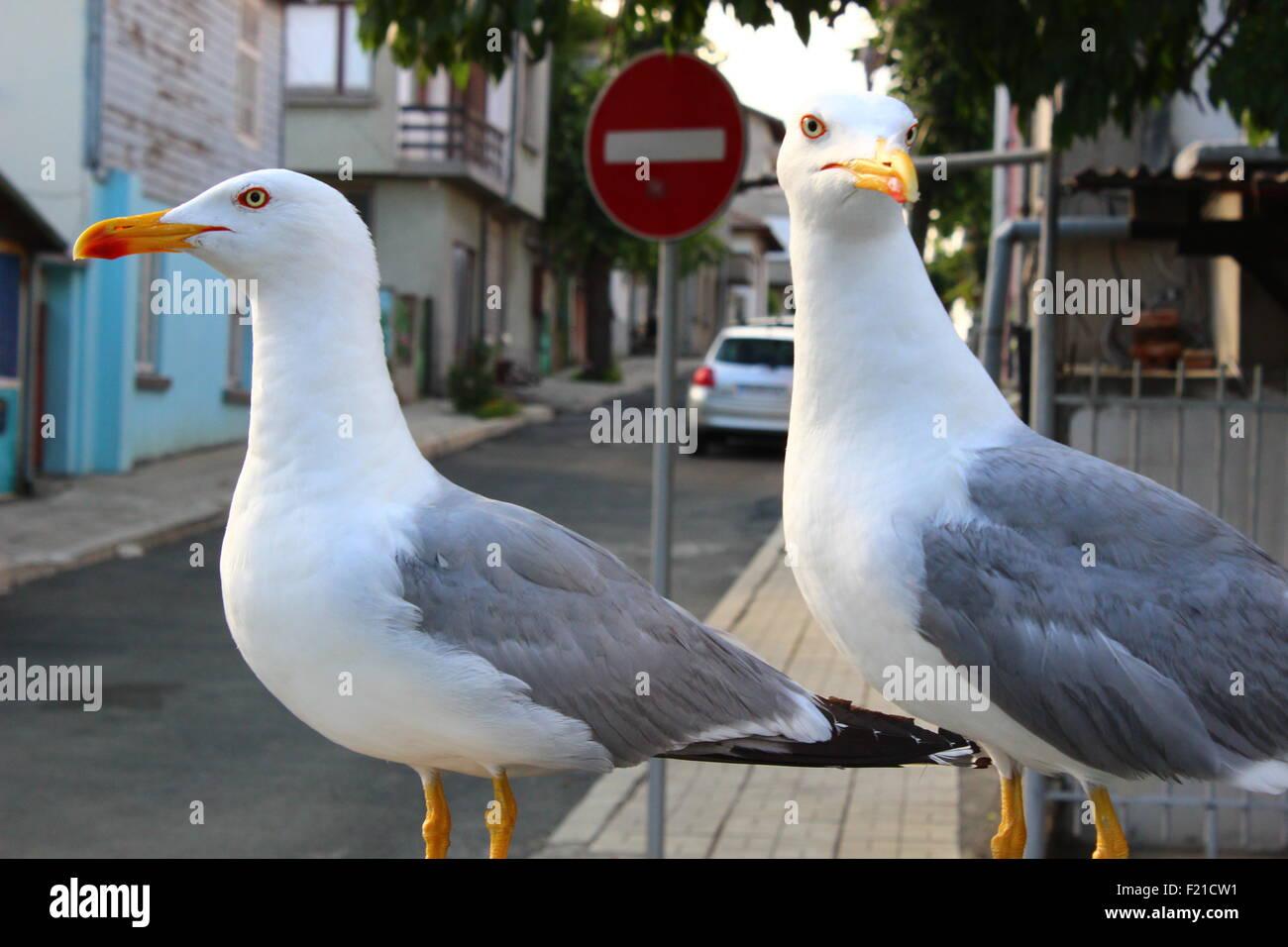 Zwei Möwen patrouillieren Einbahnstraße Stockfoto