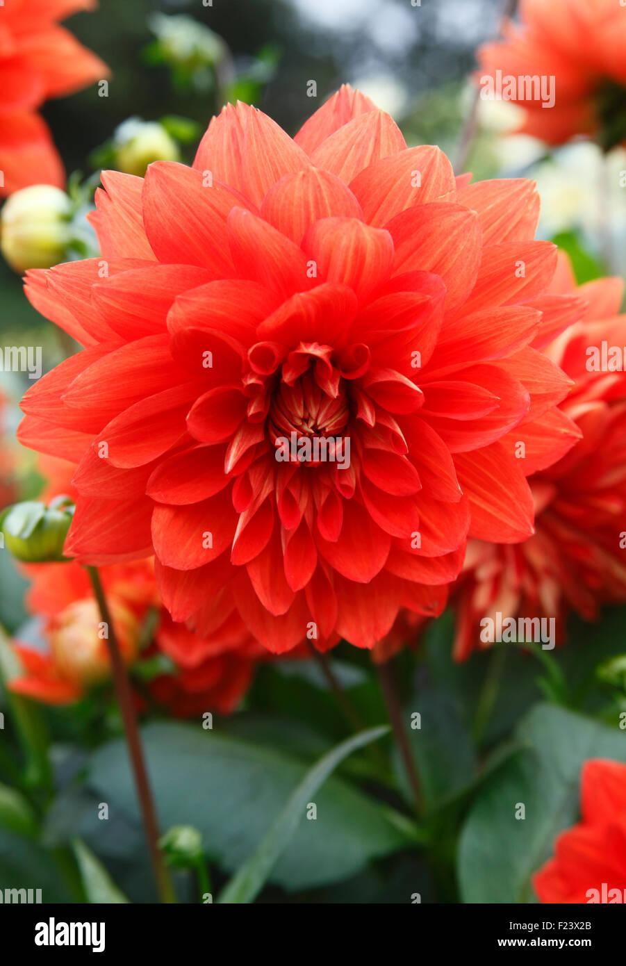 Dahlie 'Stadt Spremberg' Pflanze in Blüte Stockbild