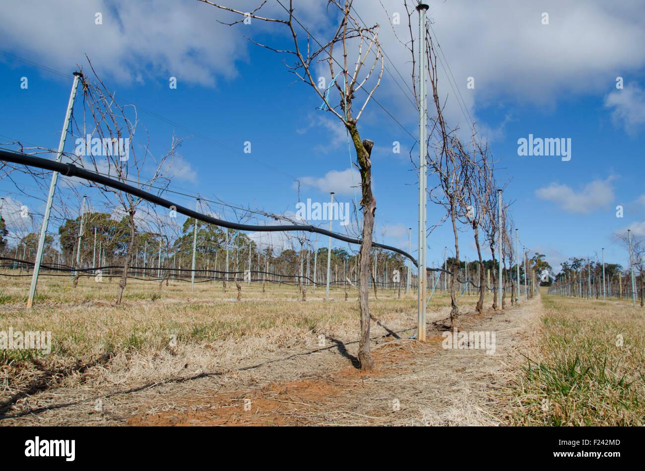 Pinot Gris Wein Weinreben wachsen auf Draht Gitter in der Nähe von ...