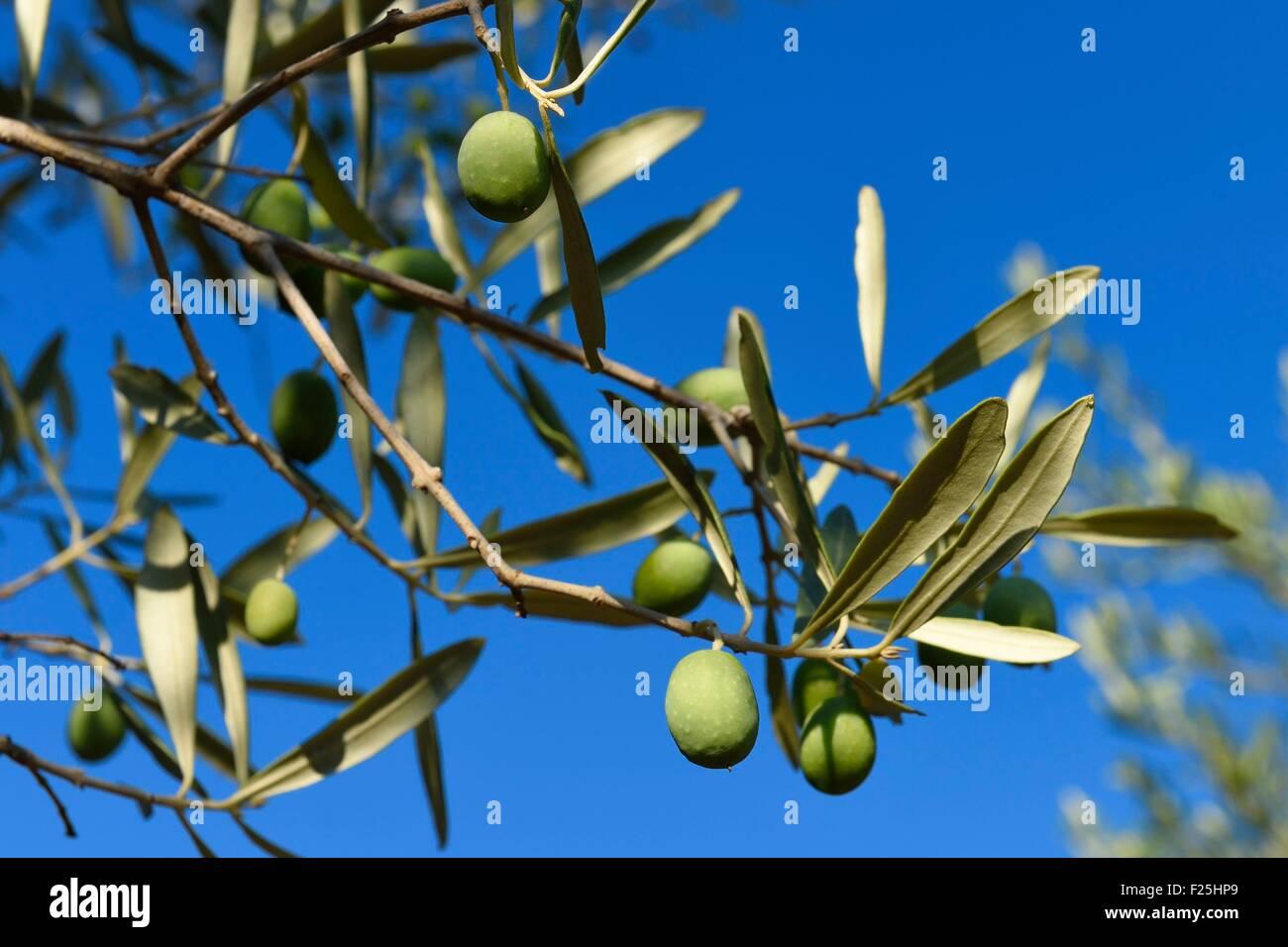 Frankreich, Var, Draguignan, Oliven am Zweig Stockbild