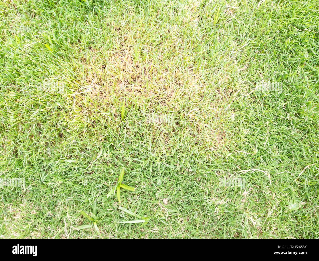 Atemberaubend Krankheiten des Rasens. Braune Flecken im Rasen, wegen Pilz Rasen #BQ_69