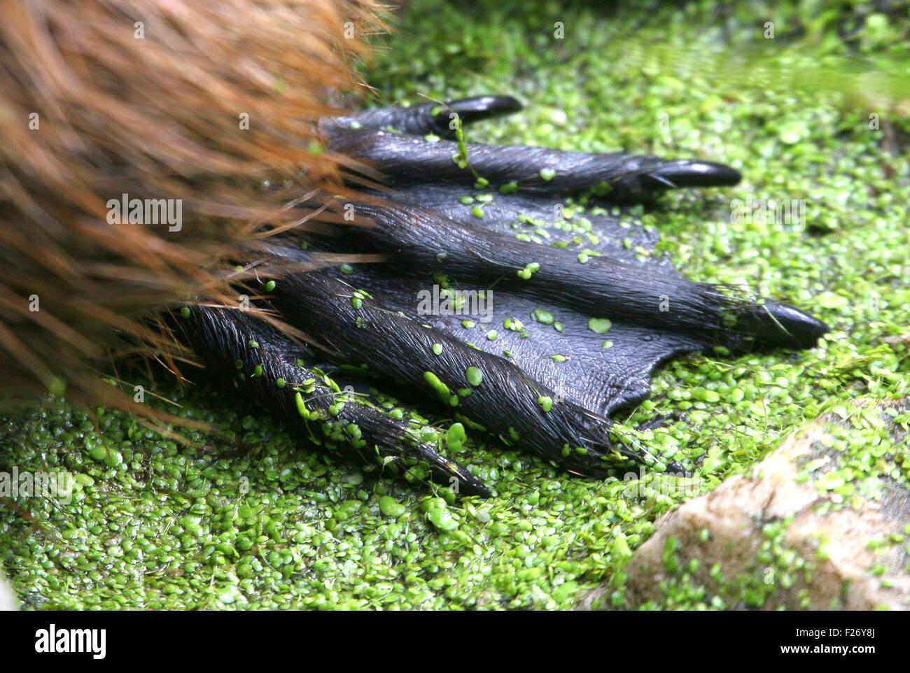 Nahaufnahme von der Schwimmfuß einer südamerikanischen Nutrias oder River Ratte (Biber brummeln) Stockbild