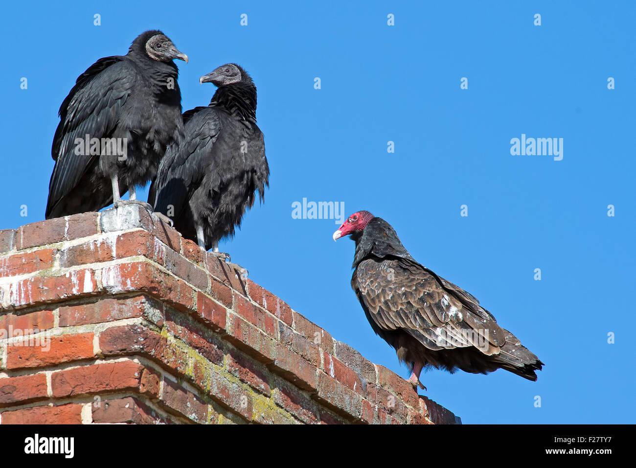 Schwarz und Türkei Geier auf einen Schornstein Stockbild