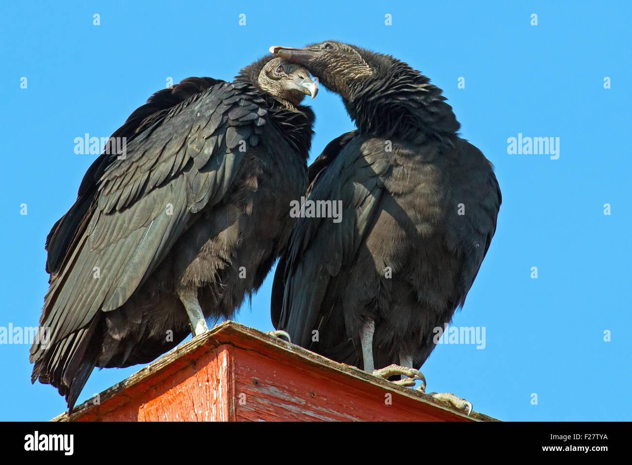 Ein paar schwarze Geier Zuneigung anzeigen Stockbild