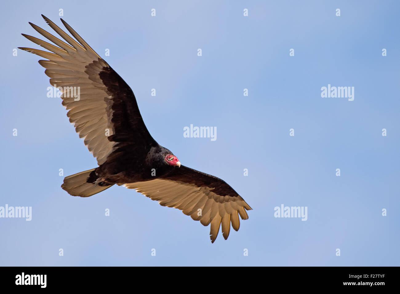 Türkei-Geier im Flug Stockbild