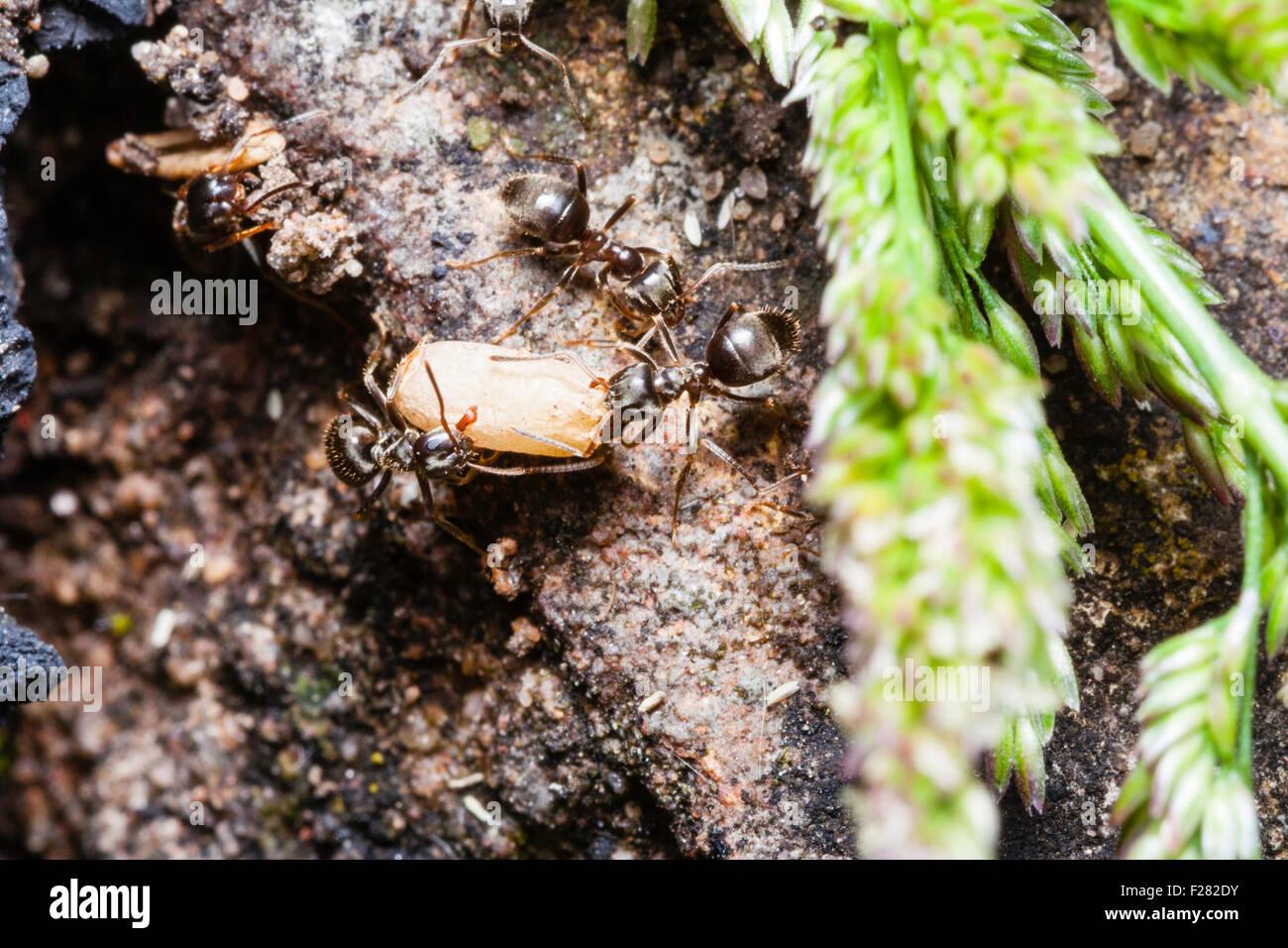 Insekt Schwarzer Garten Ameisen Lasius Niger Zwei Zusammen Mit