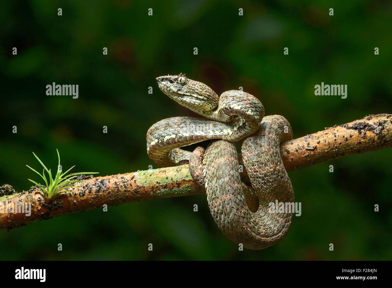 Erwachsenen giftige Wimpern Palm-Pitviper (Bothriechis Schlegelii), Viper Familie (Viperidae), Chocó Regenwald Stockbild