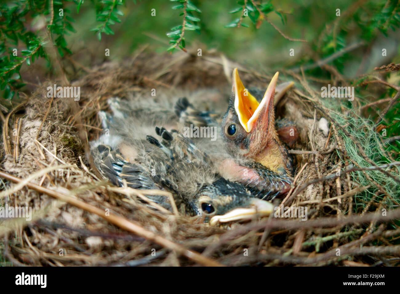 Eine Nest von jungen amerikanischen Robin Vogel Vögel Babys Jungvögel Jungtiere Nestlinge Stockbild