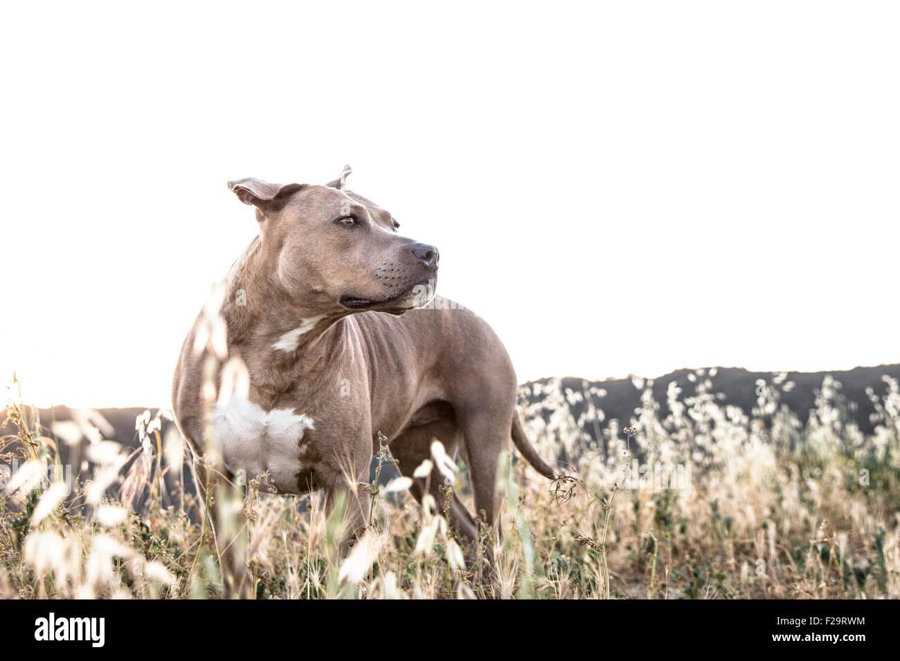 leistungsstarke Pitbull Hund steht in hohen trockenen Gräsern suchen ab in Ferne Mountain Ridge Linie Hintergrund Stockbild