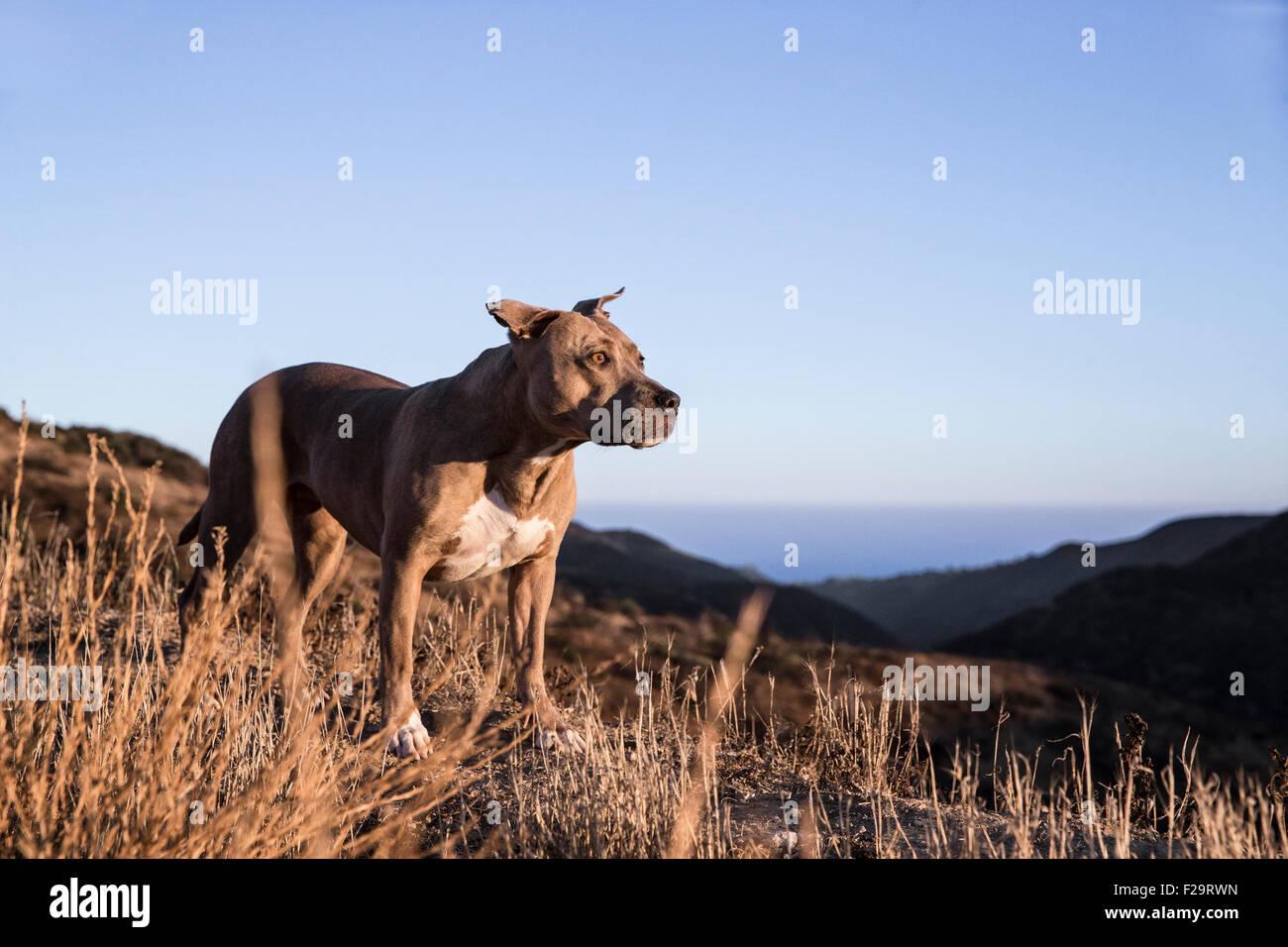Pitbull Hund geht eine Linie Höhenweg in Bergen mit Blick auf das Meer bei Sonnenuntergang Stockbild