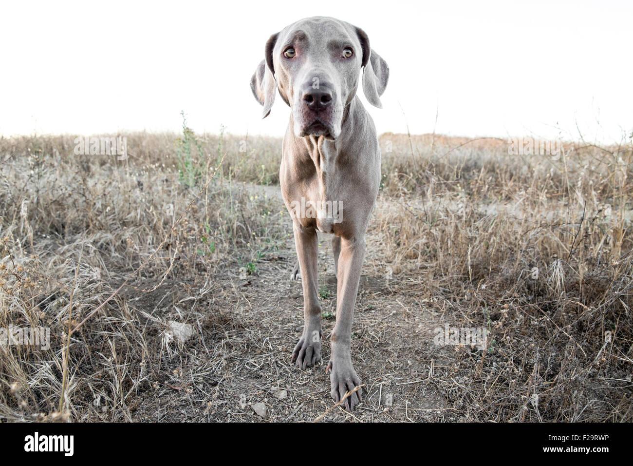 Weimaraner Hund vor Kamera stehend auf Weg in trockenen kargen Wiese beobachten Stockbild