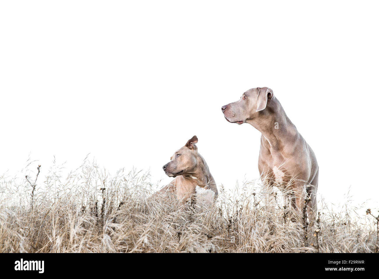 Weimaraner und Pitbull stehen inmitten von hohen Trockenrasen im Feld nach links, Negativraum für Kopie Stockbild