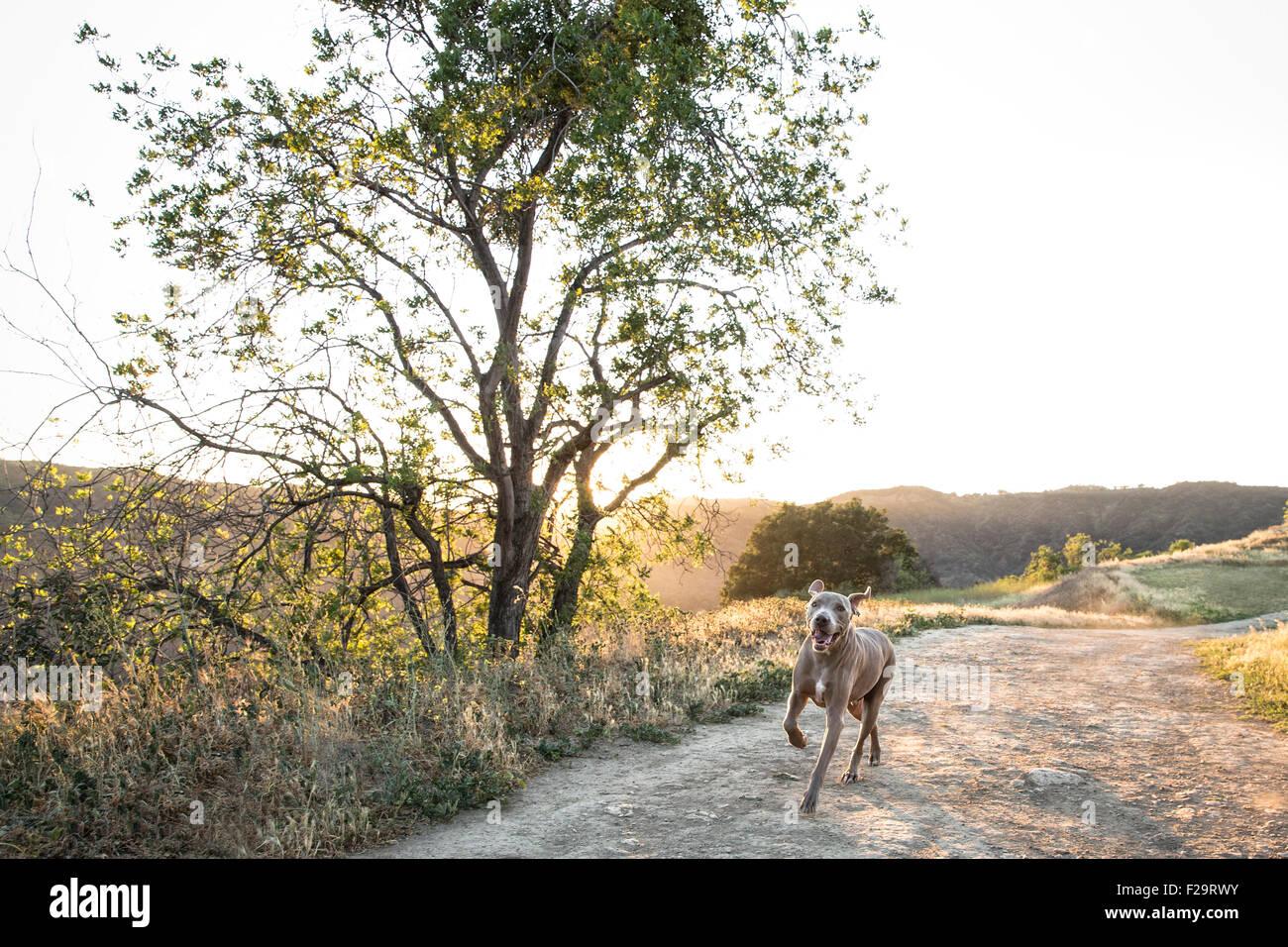 Weimaraner-Hund läuft auf Schmutz Pfad neben großer einsamer Baum hinten beleuchtet von Sonnenuntergang Stockbild