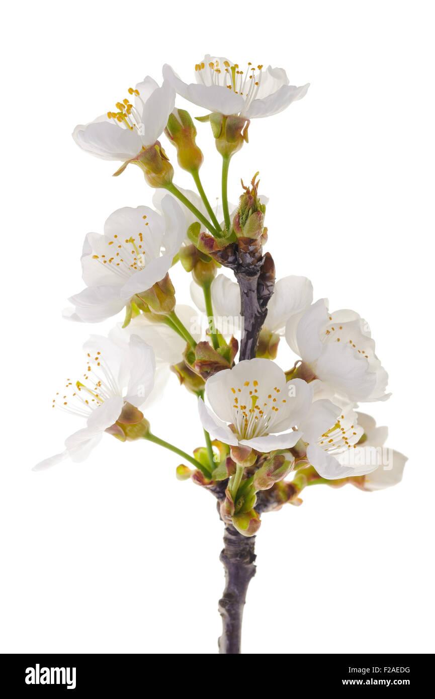 Kirschen-Niederlassung in Blumen isoliert auf weiss Stockbild