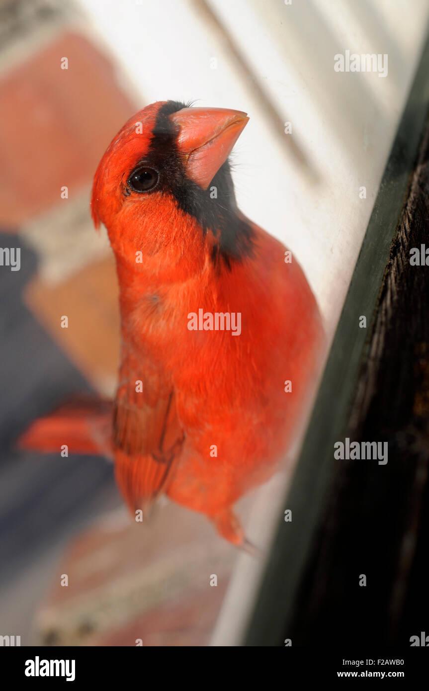 Kardinal Vogel im Fenster Stockbild