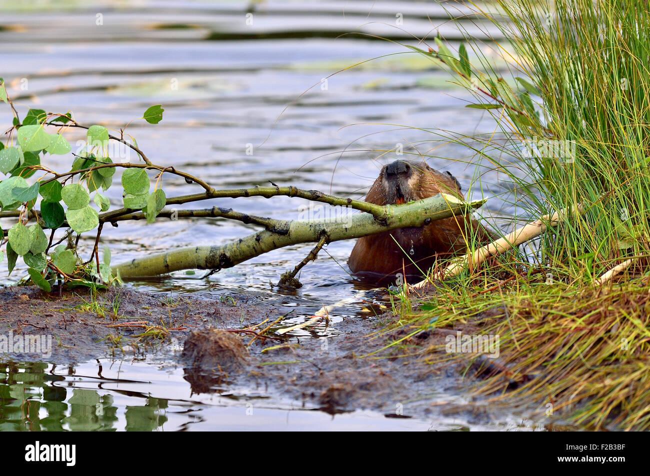"""Ein Biber """"Castor-Canadenis"""", einen Ast aus dem Wasser ziehen und oben am Ufer seine Blätter und Stockbild"""