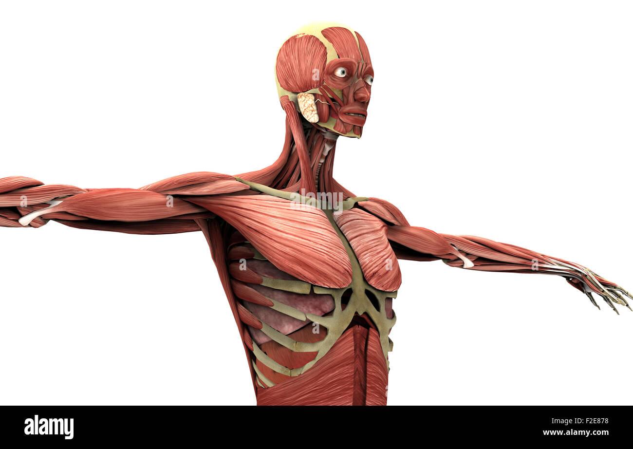 Anatomie einer Frau auf weiß mit Beschneidungspfad Stockfoto, Bild ...