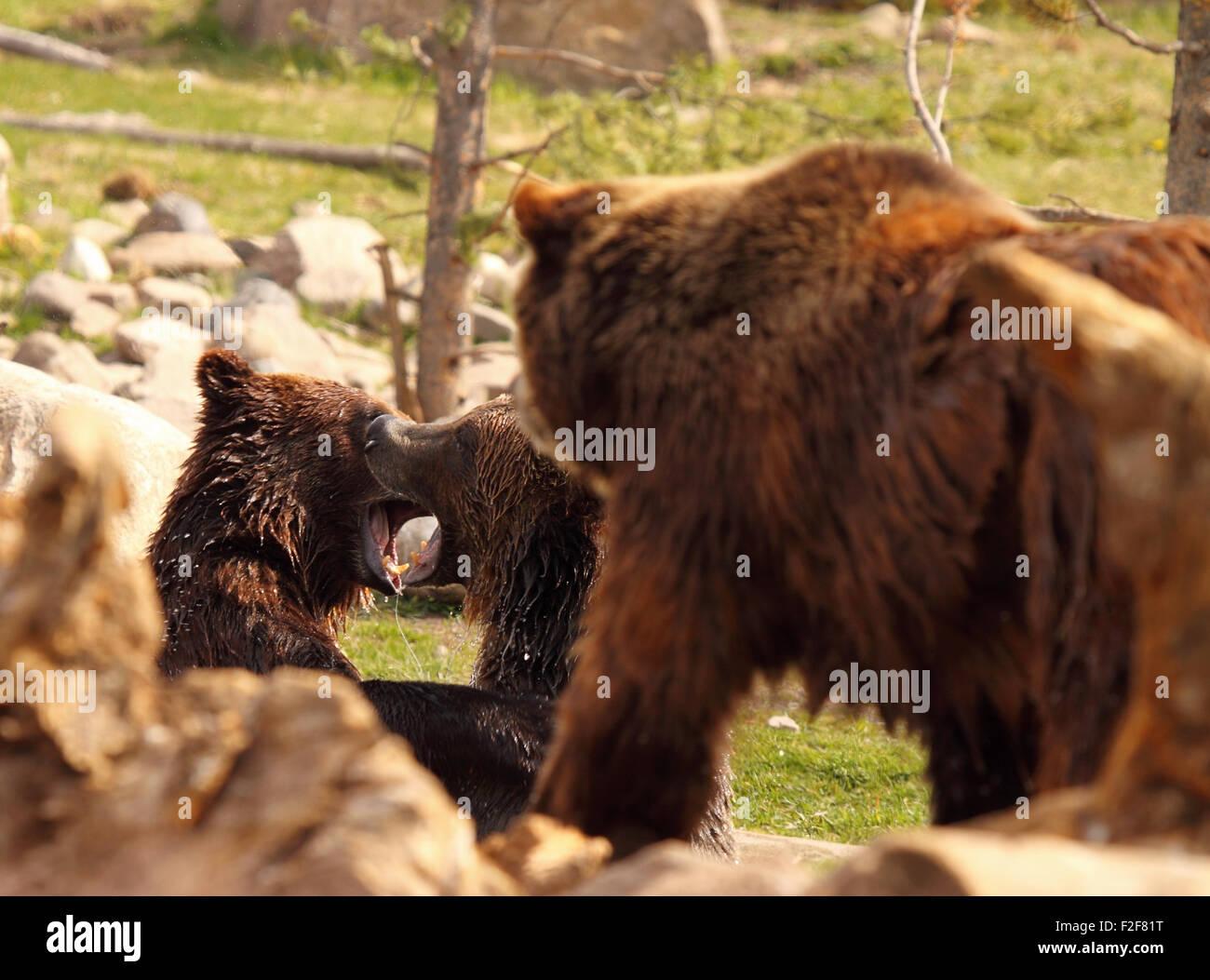 Ein paar der Jährling Grizzly Bären kämpfen als ihre Mutter zusieht. Stockfoto