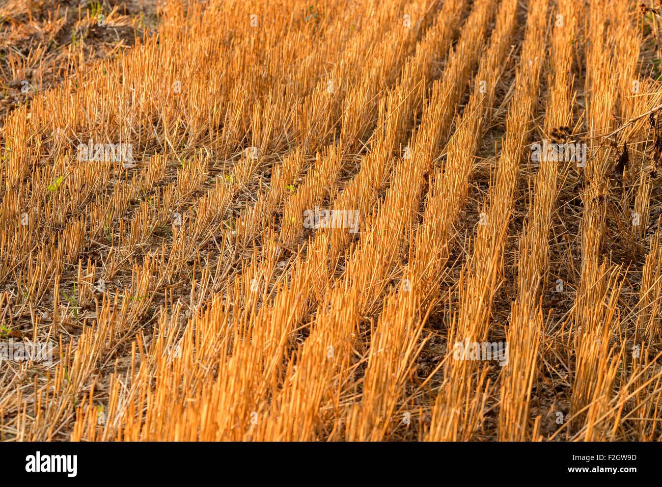 Kornfeld geerntet Stoppeln. Stroh. Strohhalme. Herbst Ernte Ernte Ernte Sonne Sonnenlicht Seite Eventide vergangenen Stockbild