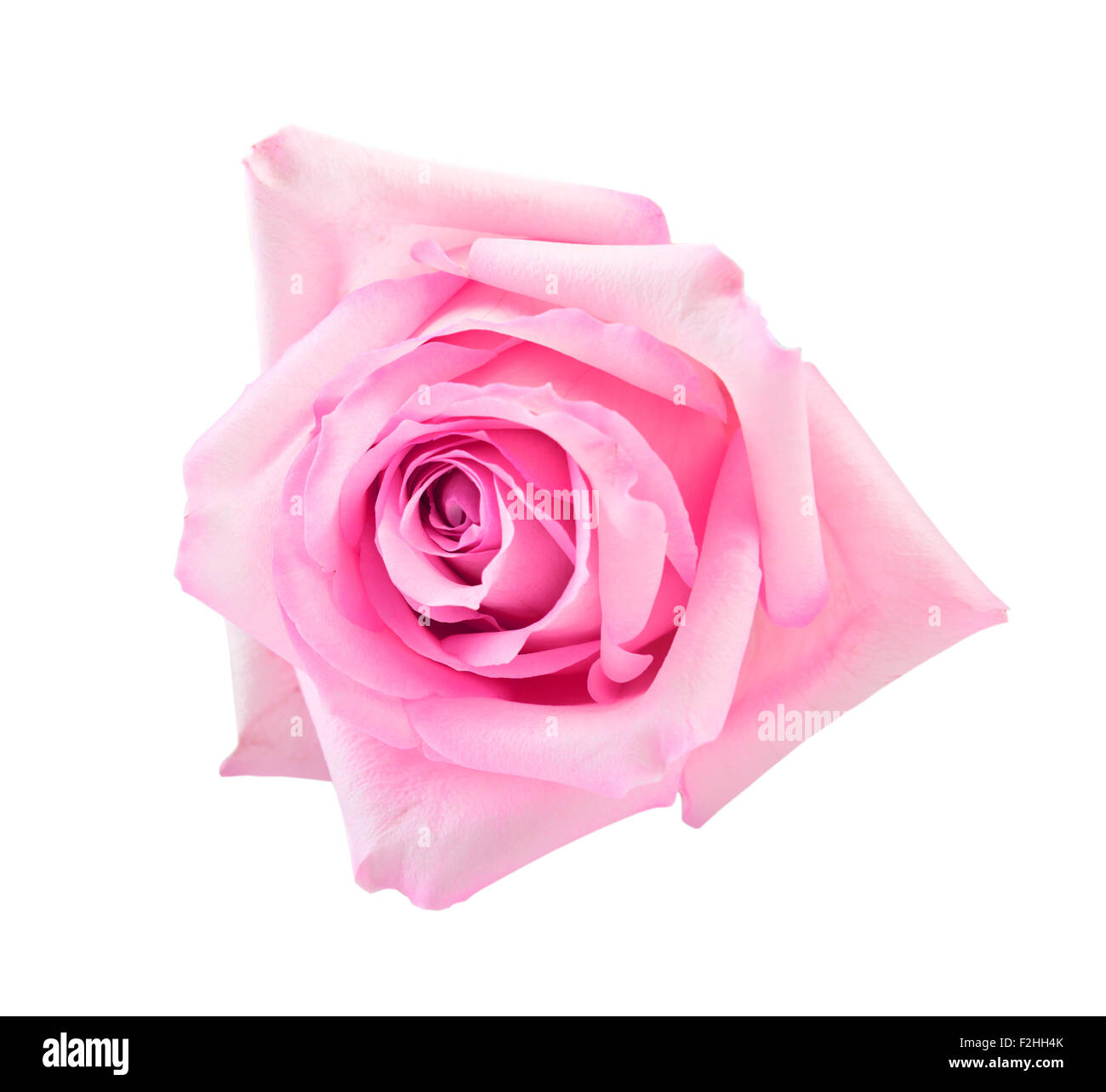 perfekt rosa Rose, isoliert auf weiss Stockbild