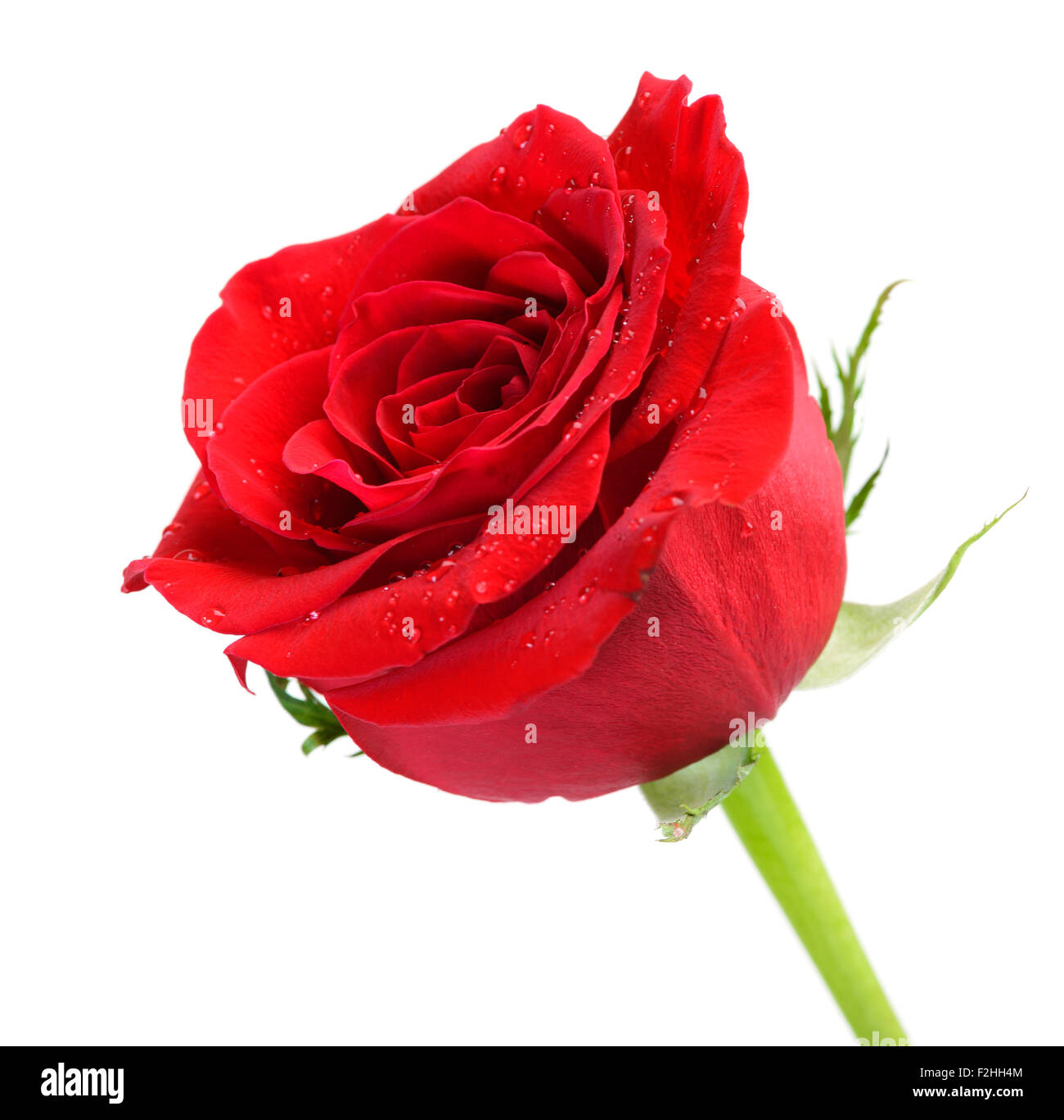perfekte rote rose, isoliert auf weiss Stockbild