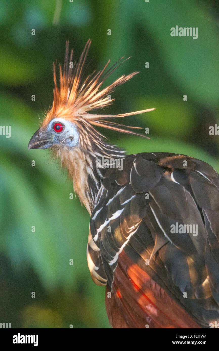 Hoatzin (Opisthocomus Hoazin) stinken Vogel Amazon Stockbild