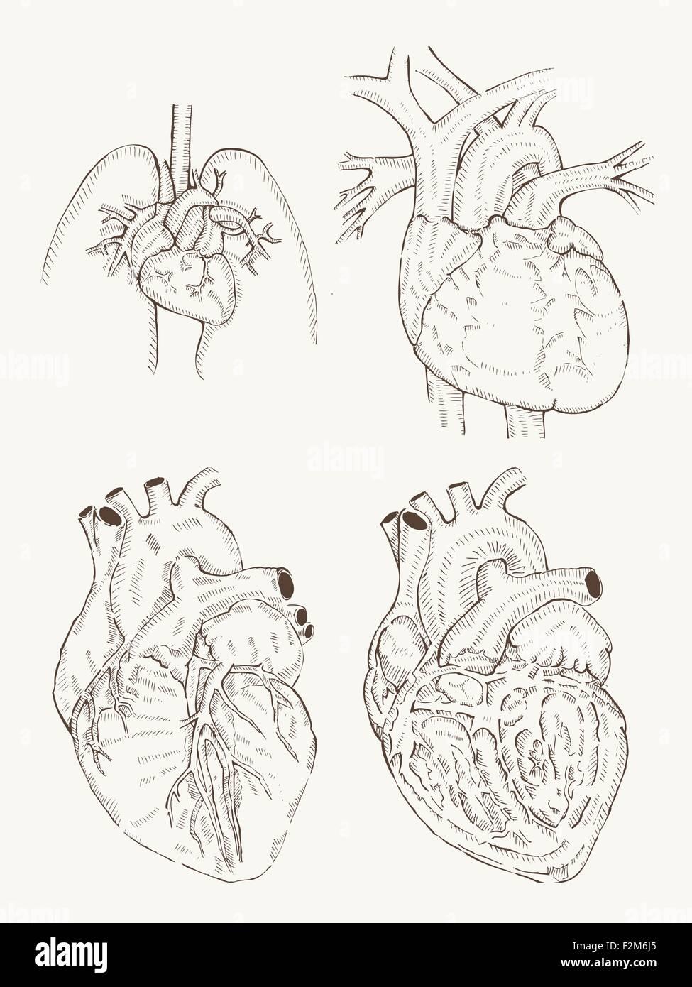 Herz-Anatomie-Hand zeichnen Vektor Abbildung - Bild: 87725405 - Alamy