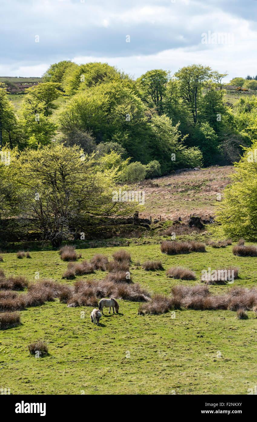 Wildpferde in einer Landschaft im Nationalpark Dartmoor, Devon, England, UK Stockbild