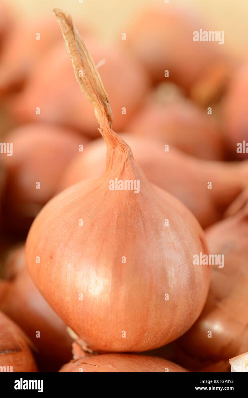 """Allium Cepa (Aggregatum Group) """"Red Sun"""" Schalotte Sätze Januar Stockbild"""