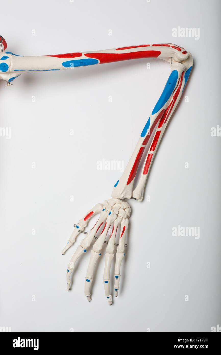 Lehre-Skelett zeigt Teil von Arm und Hand Knochen Stockfoto, Bild ...