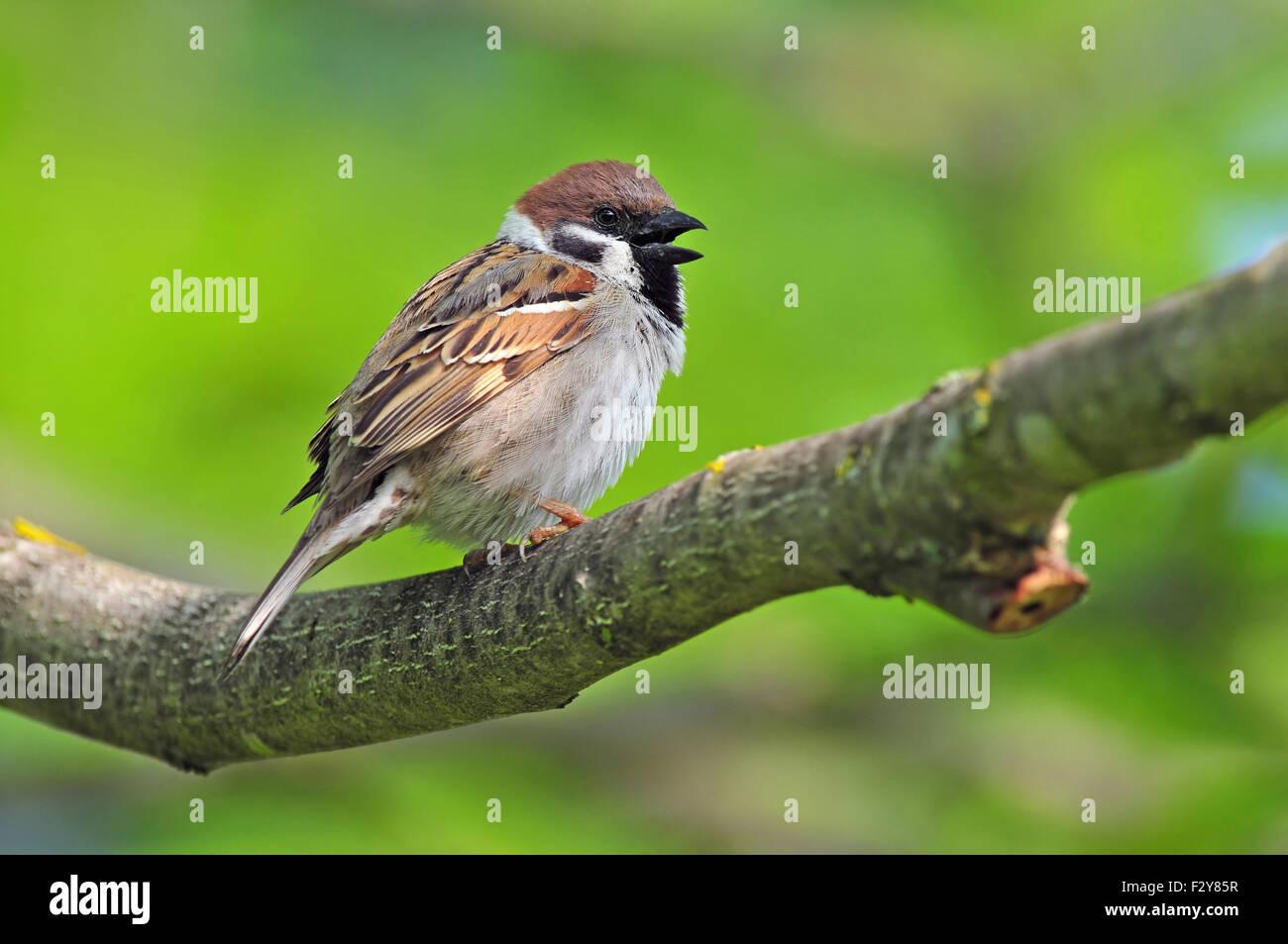 Foto des eurasischen Tree Sparrow auf einem Ast Stockfoto