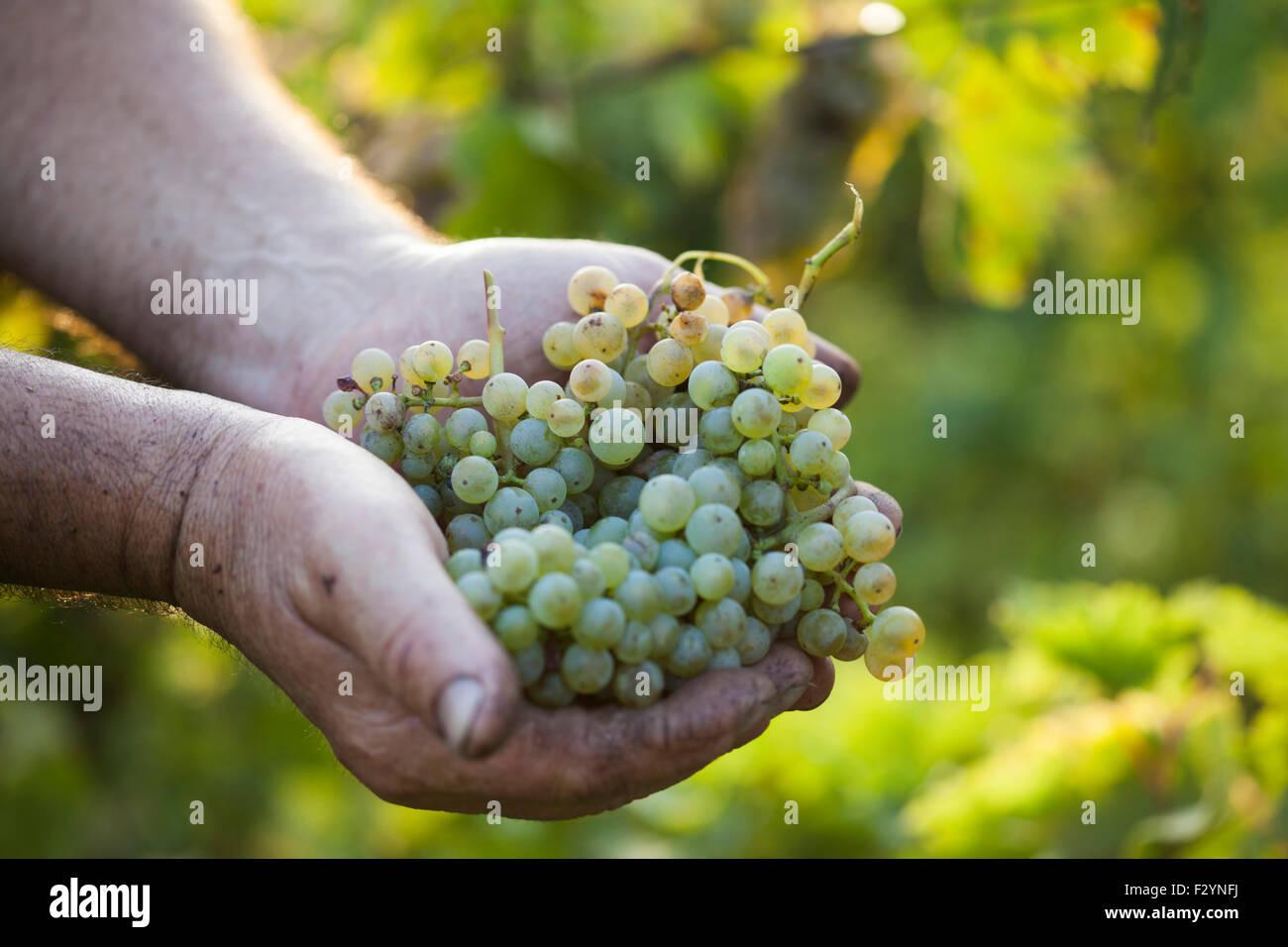 Harvest.Farmers Hände mit frisch geernteten Trauben in den sonnigen Weinbergen Stockbild