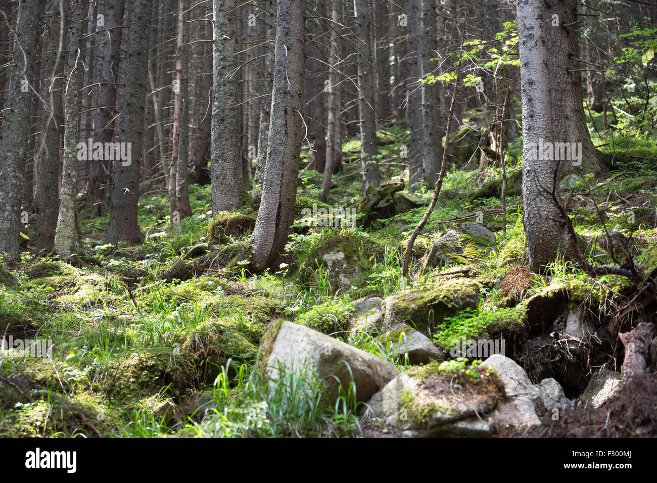 wald von tatra nationalpark zakopane polen stockfoto. Black Bedroom Furniture Sets. Home Design Ideas