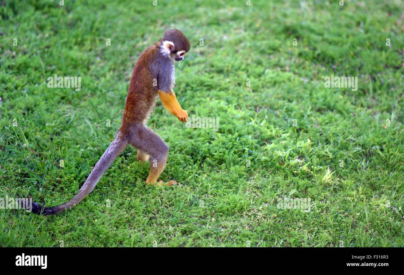 Lustige Saimiri Affen auf der Suche nach etwas auf dem Boden Stockbild