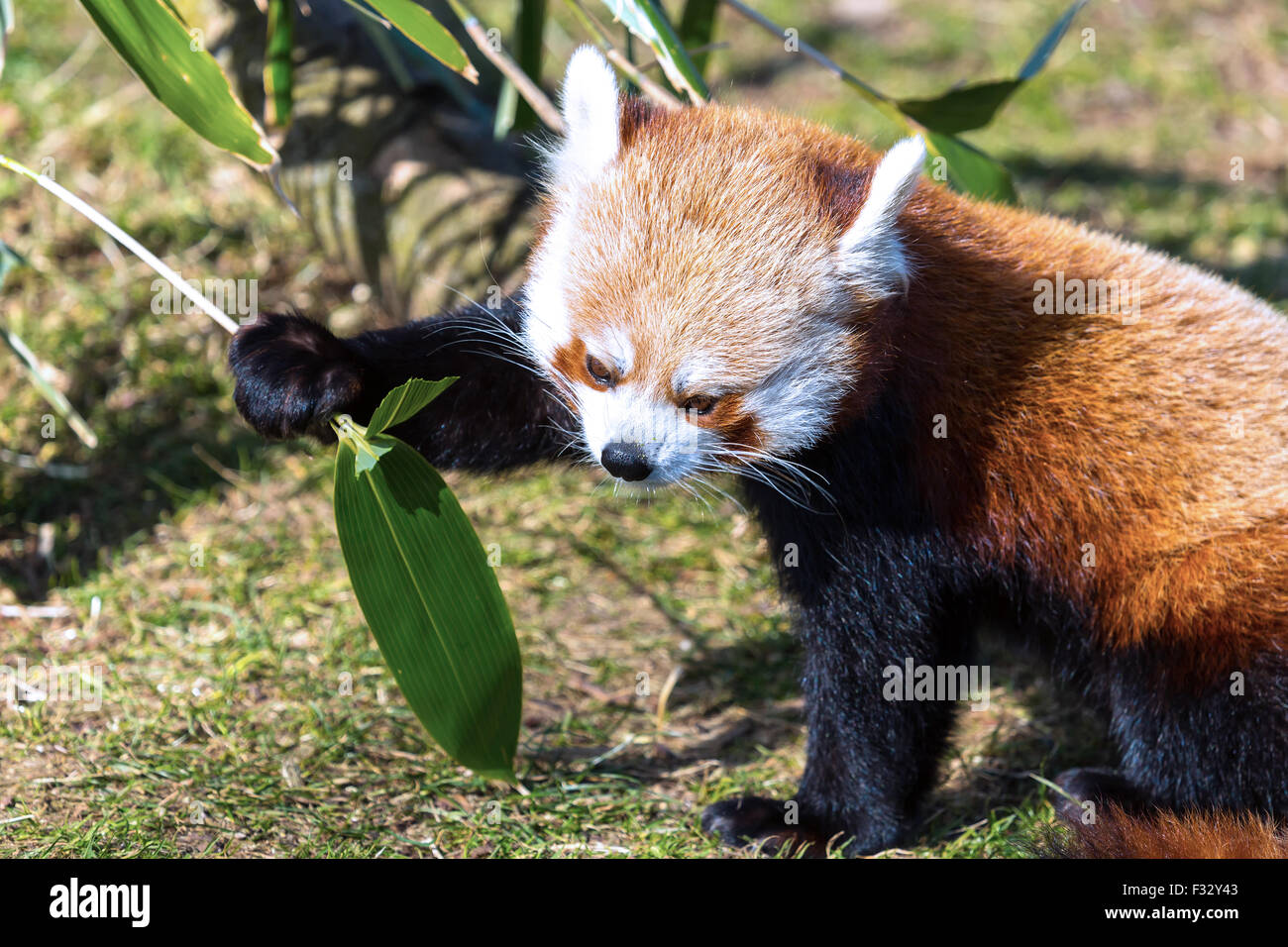 Roter Panda: sehr niedliche rote Panda Essen grüne Blätter. Stockbild