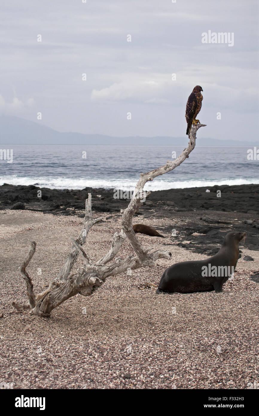 Galapagos-Falke (Buteo Galapagoensis) und Galapagos-Seelöwe (Zalophus Wollebaeki) Stockbild
