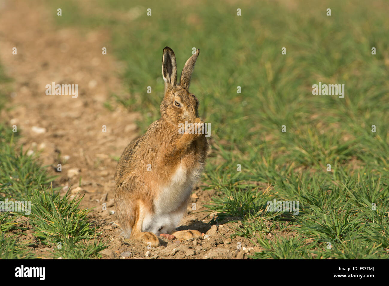 Braun Feldhase Lepus Europaeus in Winterweizen Field Norfolk UK März Stockbild
