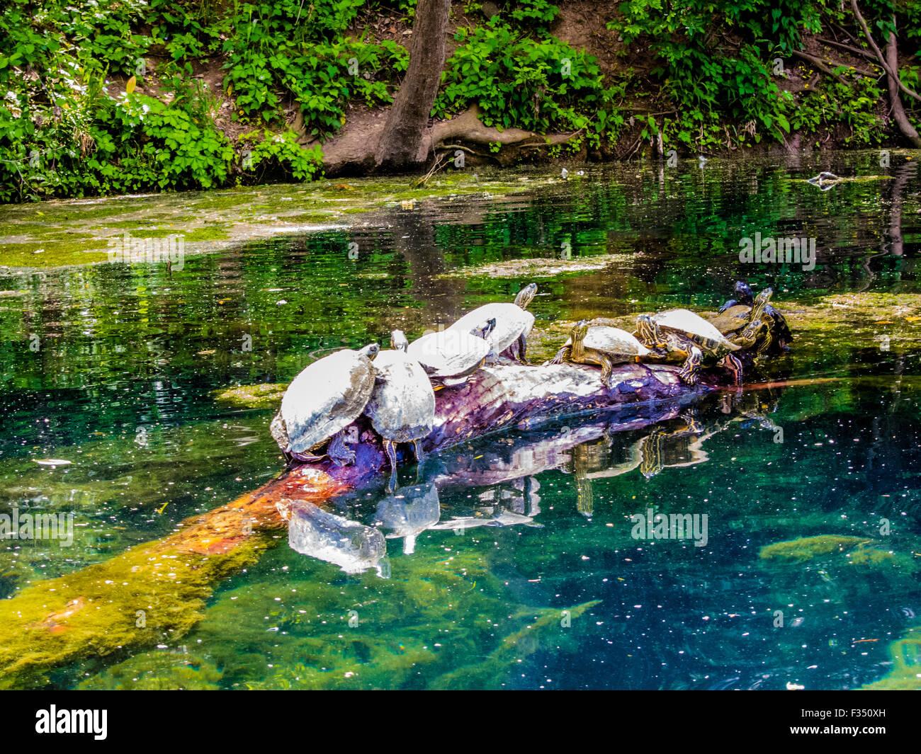 Schildkröten Sonnen am einloggen Barton Creek, Austin, Texas Stockbild
