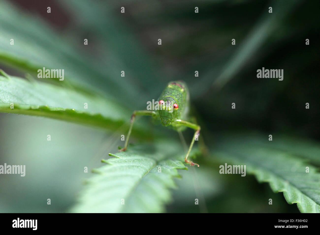 Kleine grüne grashüpfer mit seinen roten augen in die kamera schaut