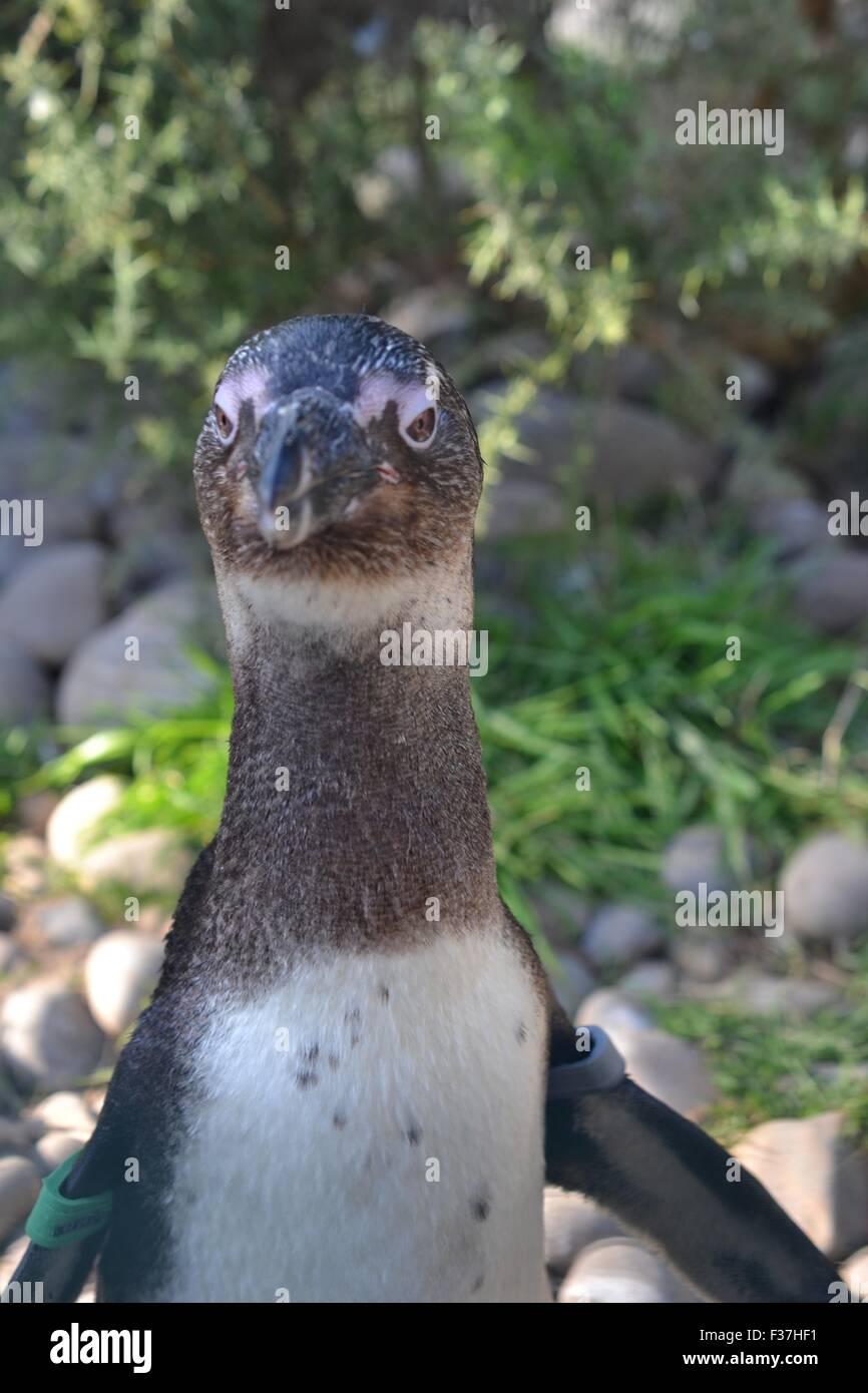 Afrikanische Pinguin Stockbild