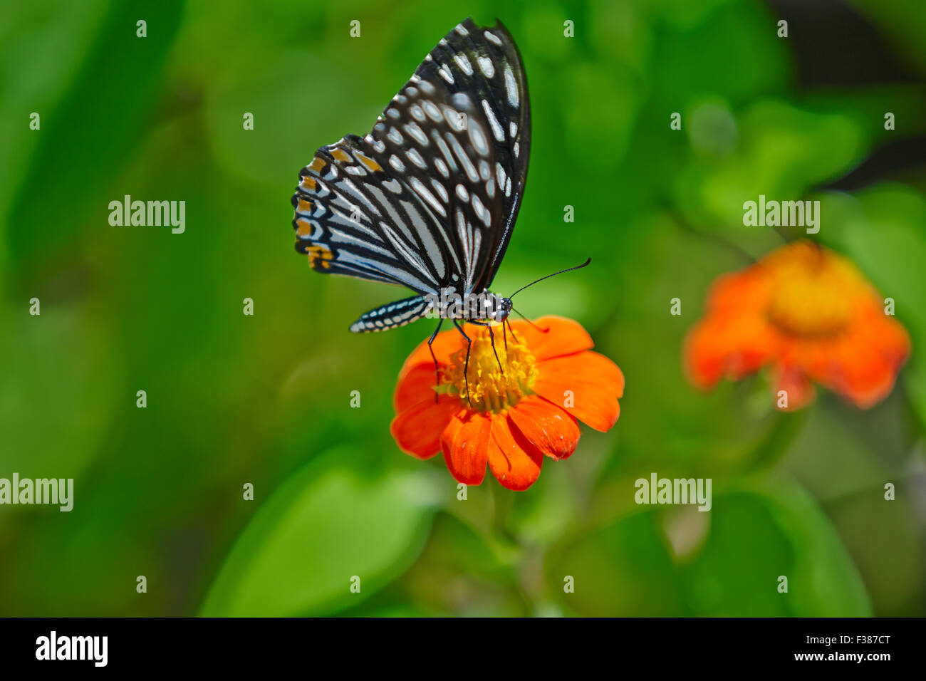 Die gemeinsame Mime-Schmetterling, form Dissimilis auf einer Blume. Wissenschaftlicher Name: Papilio clytia. Banteay Stockbild