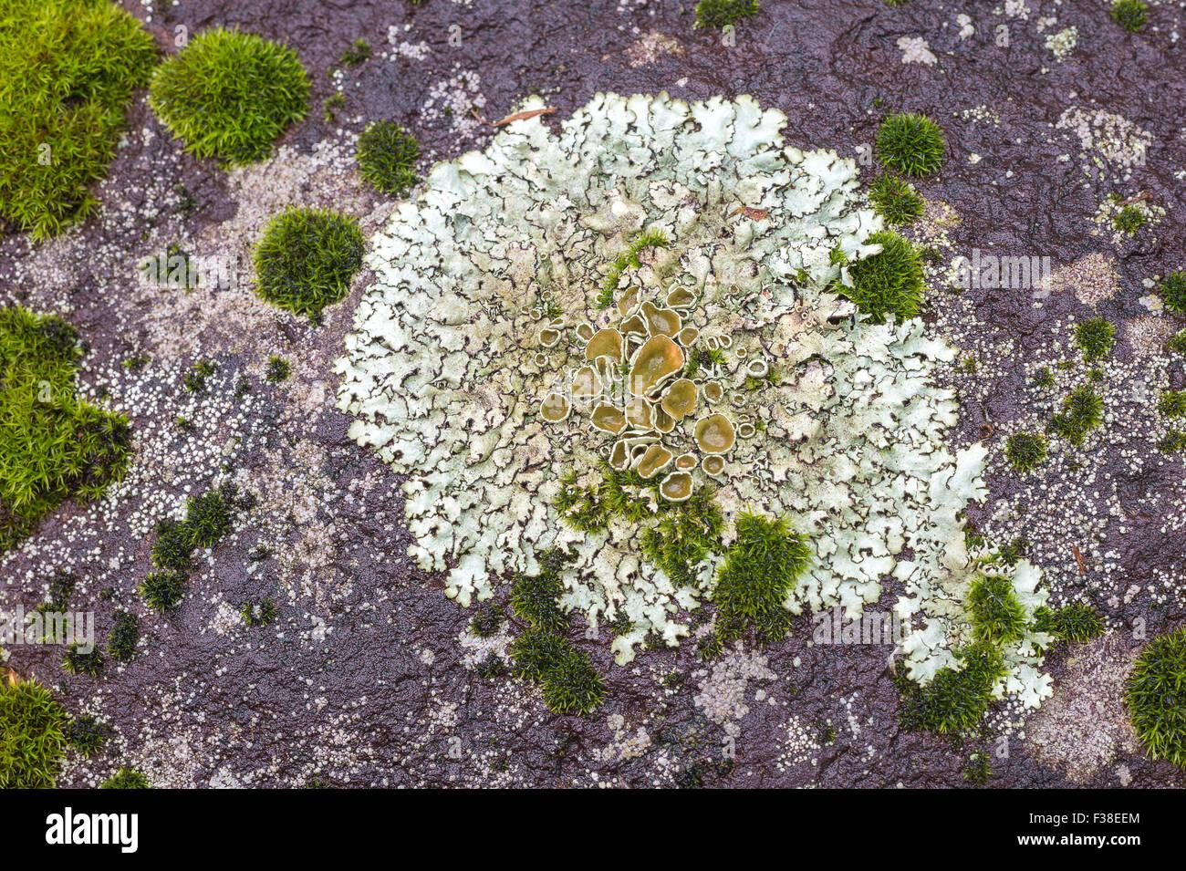 Weißen Flechten (Squamarina Lentigera) auf einem Felsen, als Symbol ...