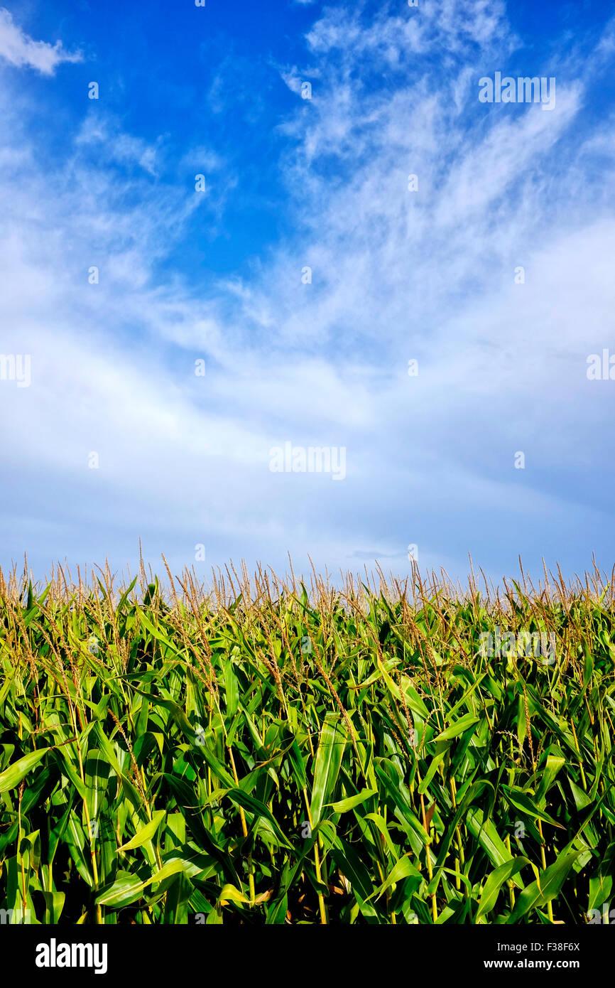 Schuss von einigen Wolken über einem Maisfeld hautnah Stockbild