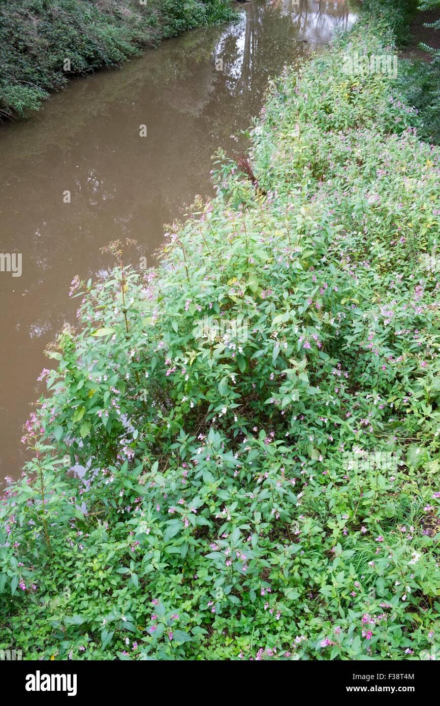 Drüsige Springkraut - Impatiens Glandulifera. Stockfoto