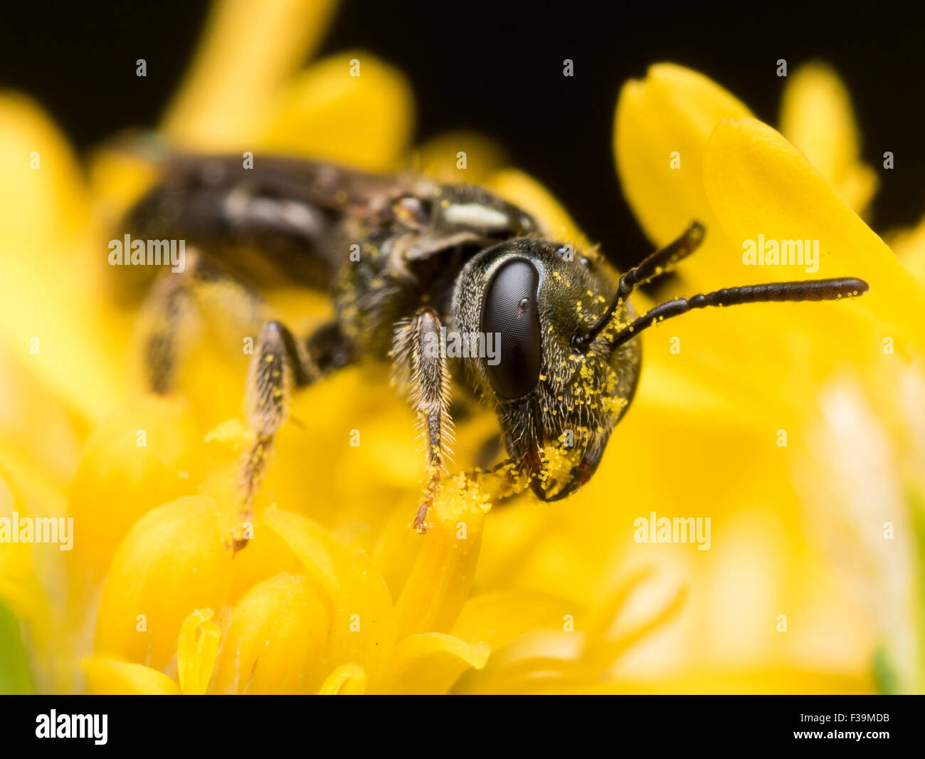 Dunkle Biene in Schweiß (Früchte) extrahiert Pollen aus einer gelben Blume Stockbild