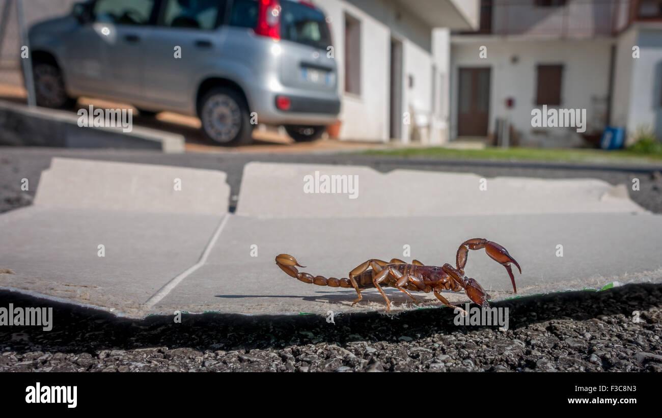 Scorpion gefangen und verdrängt von einem Haus in der Region Veneto, Italien (unverletzt) Stockbild