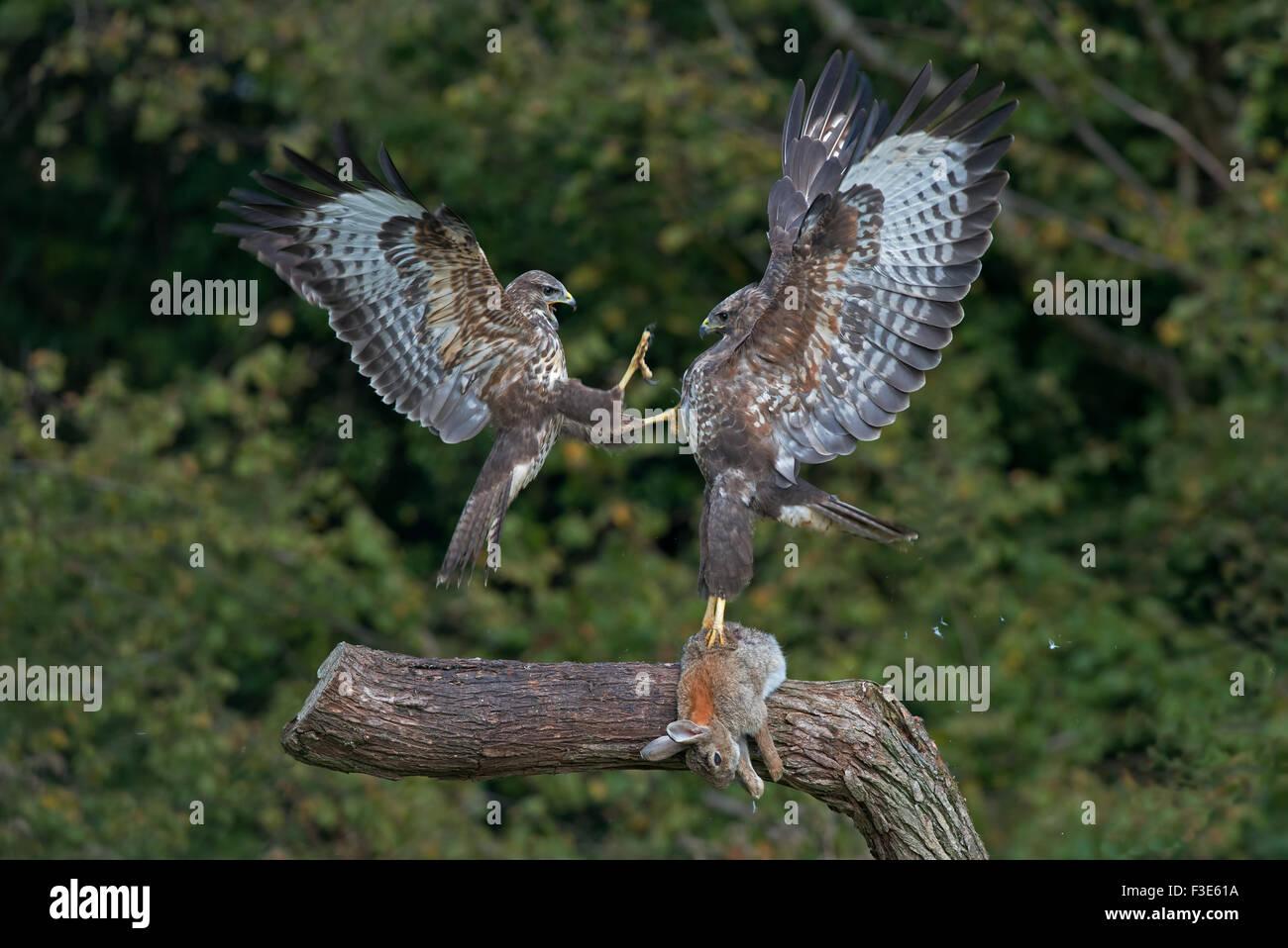 Paar von Buteo Buteo Mäusebussarde - anzeigen Aggression über Beute. Herbst. UK Stockbild
