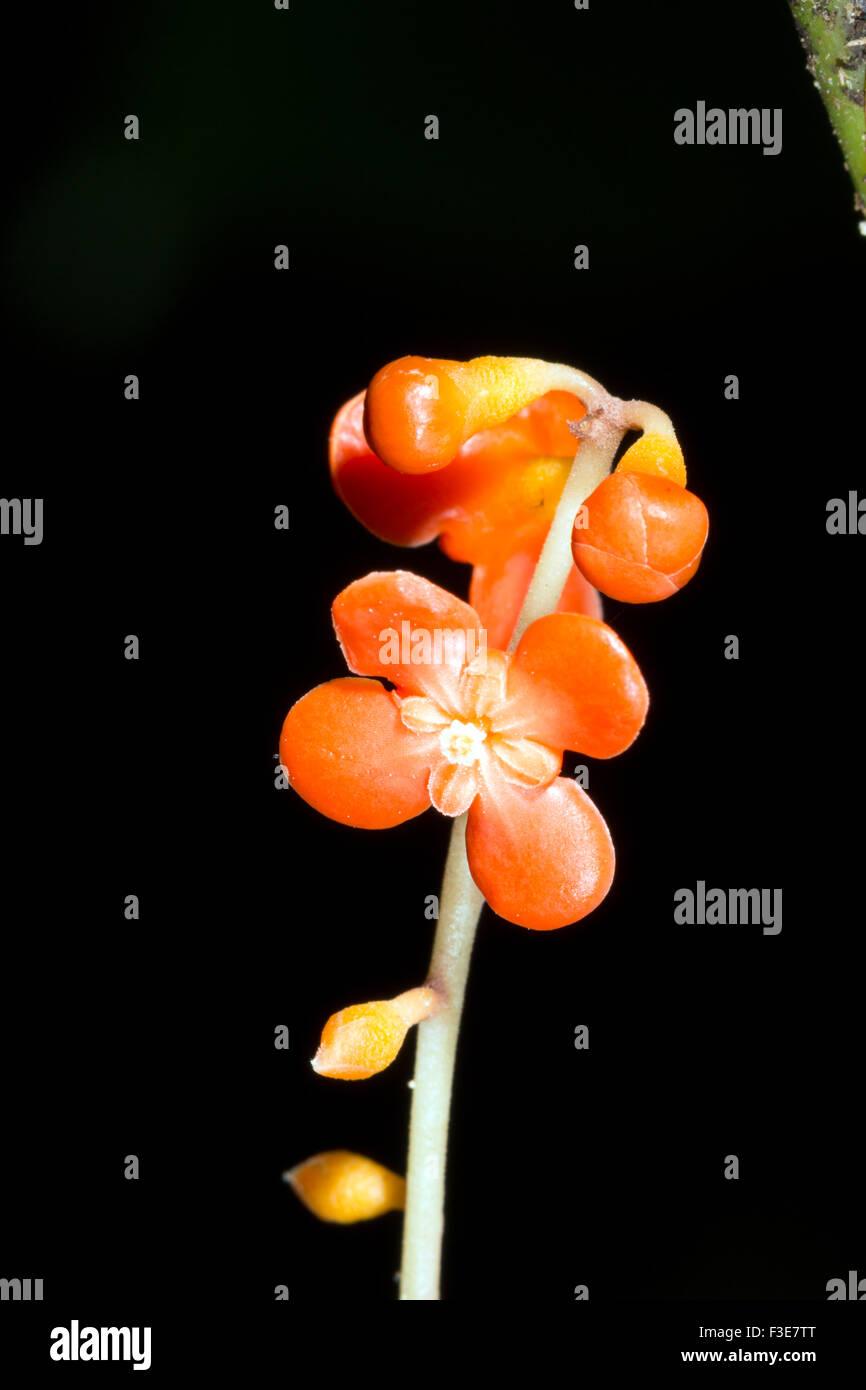 Clavija Procera (Theophrastaceae). Verwendet als Schlange biss Heilmittel von den Quechua-Indianern im ecuadorianischen Stockbild